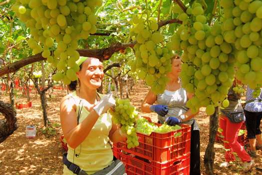 grape harvest in Puglia